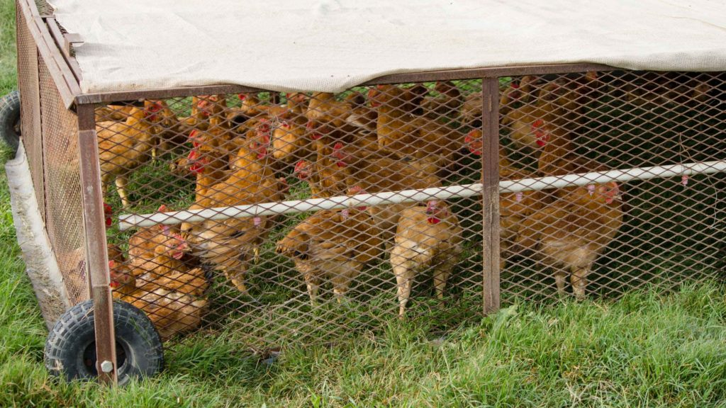 Chicken on Sustainable Chicken Farm