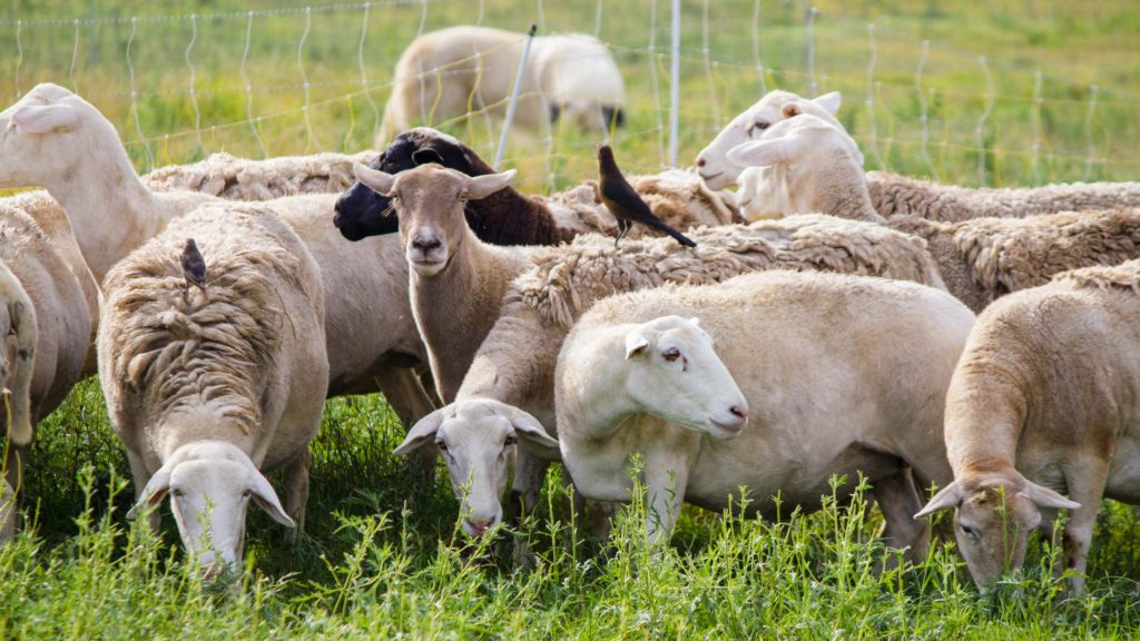 Sheep on Sustainable Chicken Farm