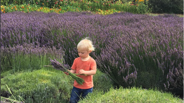 Rancho San Julian Lavender Fields