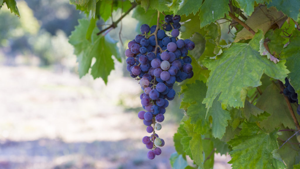 Grapes at Rancho San Julian